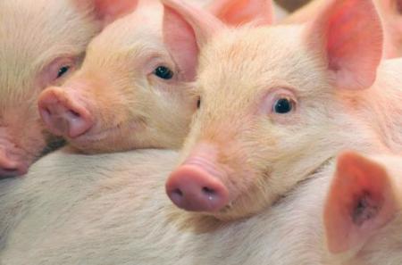 2019年6月24日(19至30公斤)仔猪价格行情走势