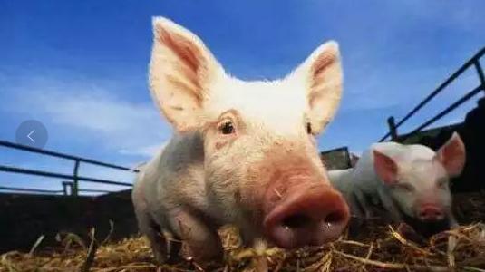 恢复生猪产能急需政策保驾护航,养猪行业提出四大建议
