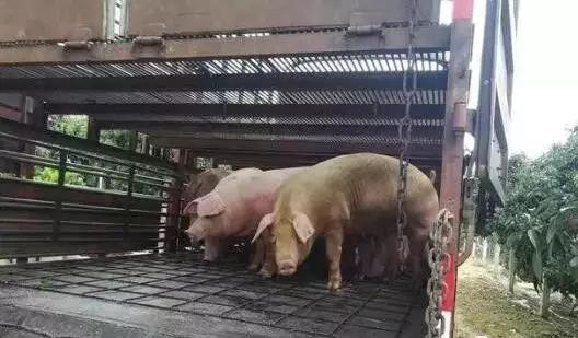 不用盖猪舍也能养猪,养猪大棚的建设方法你真的不看一下吗?