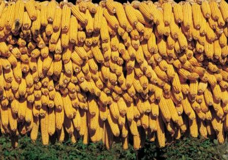 2019年06月24日全国各省玉米价格及行情走势报价
