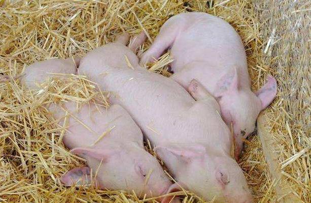 生猪供应减少,山东桓台生猪价格上涨