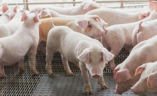 东北猪价强势再涨,均价继续新高