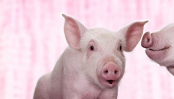 飞起来的猪!新一轮猪周期已经来临