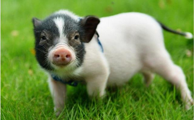 """从此""""名猪""""有主了,贵州成立养猪行业协会"""