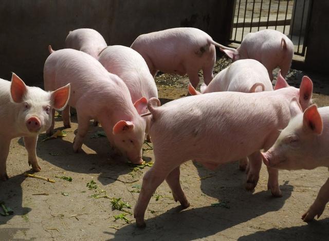 屠企压价,非瘟再起,地震连发,养猪人:我们只能夹缝中生存