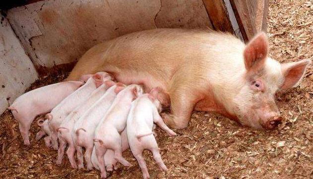 关于母猪产后恶露促排的新发现!