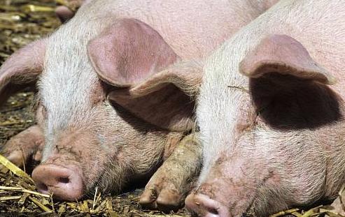 上高县病死猪摆放路边等待处理中心收运,疑似因猪流感致死