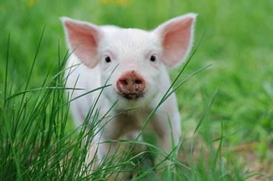 傅海棠:生猪未来要涨价 但全国生猪减少没想象那么大