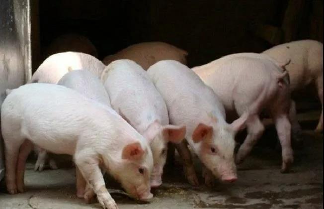 生猪继续保持震荡上扬的势头,南北区域的生猪价格差异仍然很大!