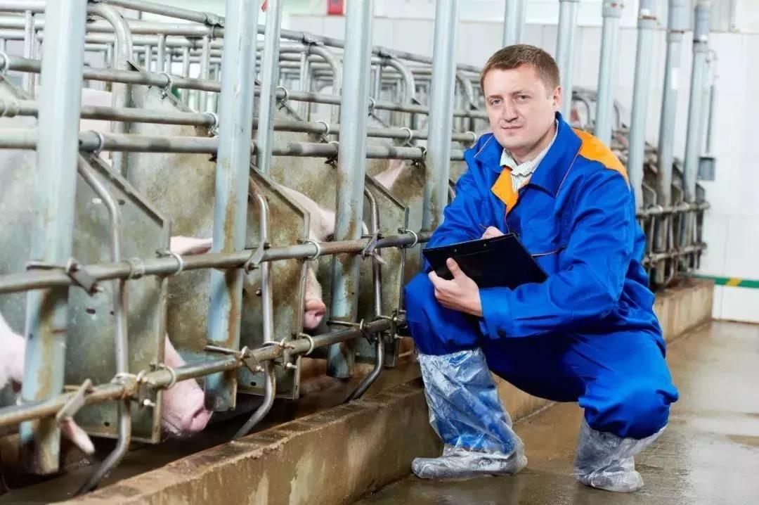 母猪发出的信号你了解吗?养猪人该如何做?