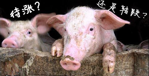 多重利空夹击 猪价开始短跌