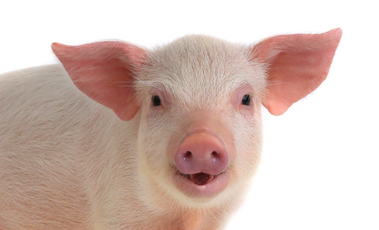 广西猪价马上开始逆袭?肉类外援下养猪人还有多少机会……