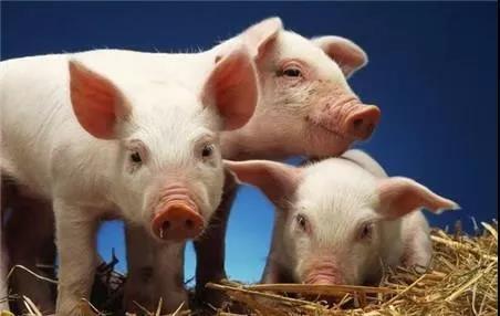 猪场如何实现轻松管理?一定要防控好这些病