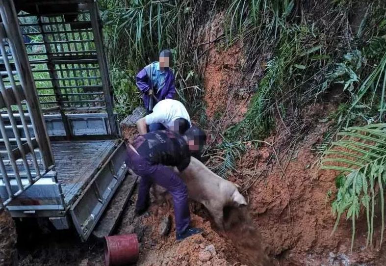 藤县有人违规调运两车生猪,涉案35头生猪已被扑杀