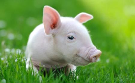 6月28日全国30斤-40斤仔猪价格行情