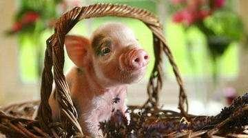 中国缺猪,引发世界养猪业洗牌之战!