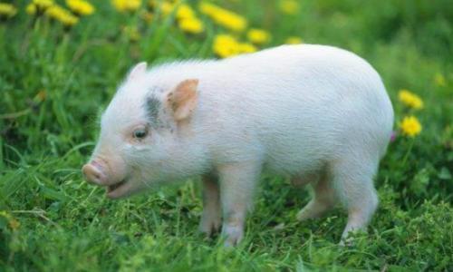 当下猪业博弈,面对猪队友如何抉择?