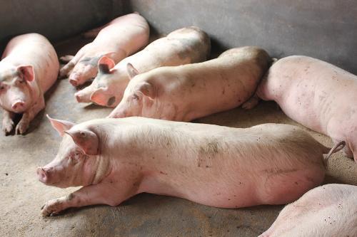 探讨:三元杂交猪能否作为种猪?