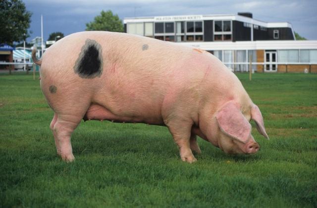 养猪户自己培育种猪,这4个阶段很重要,关系到产仔率