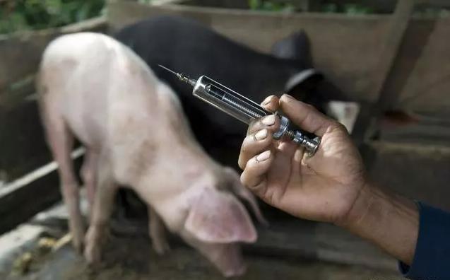 """不要把""""高热混感""""错当非洲猪瘟,一个配方用上很有效"""