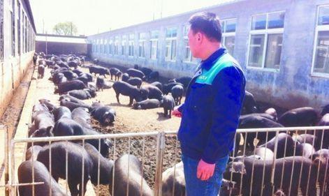"""山东:铺上""""发酵床"""" 养猪场没臭味"""