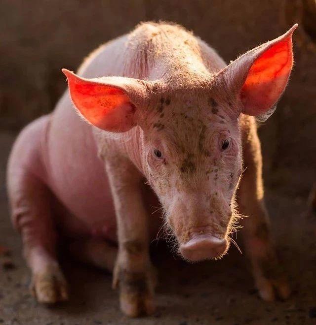 老挝新消息:沙拉湾省2500多头猪感染非瘟致死,万象市24小时严防病猪入城