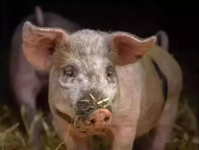 缅甸临时禁止从中国进口生猪及猪肉产品