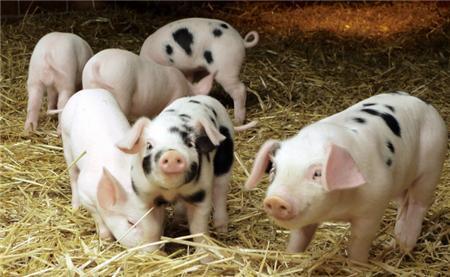 """大学生俯下身子当""""猪倌"""",带动村民养猪致富"""