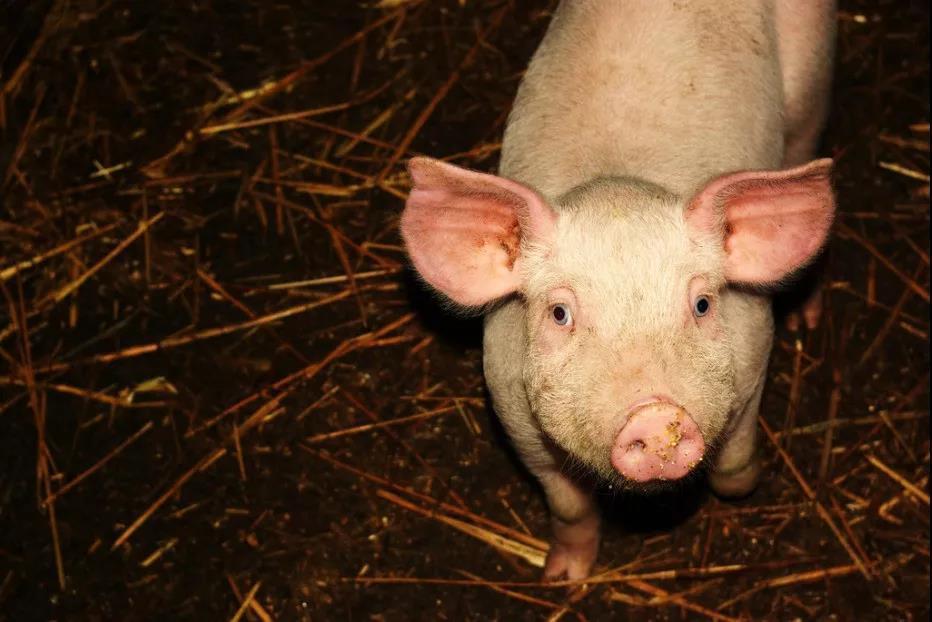 大型规模化猪场伪狂犬病的控制与净化