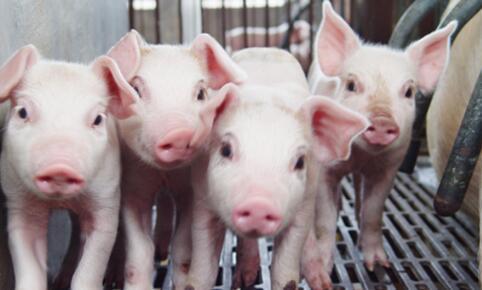 迅速诊断5类猪病,帮您获得更大利润