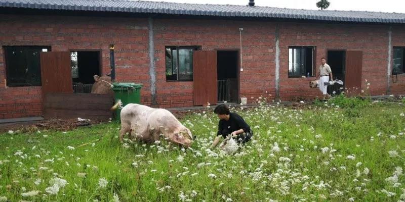 半敞开式养猪?沙泥浴在当前养猪生产中的重要意义!