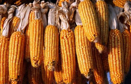 玉米市场情绪偏弱,需求恢复任重道远