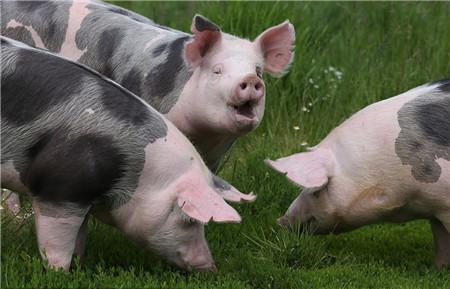 仔猪保健针效果差,仔猪出生后正确保健做法出炉