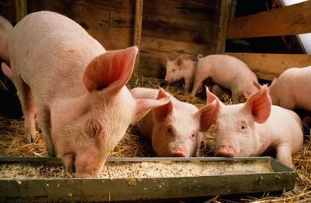 欧亚经济联盟计划建立养猪业协会,提议已审议通过