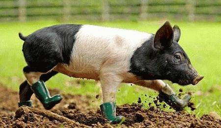 7月4日全国生猪价格整体趋稳,非瘟后成功复产,后期猪价有望攀高!