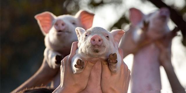 国务院:加强非瘟防控,引导养猪场(户)增养补栏,加大生猪生产政策支持