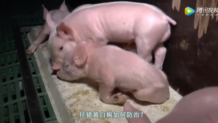 仔猪黄白痢是什么原因,仔猪黄白痢怎么治疗!