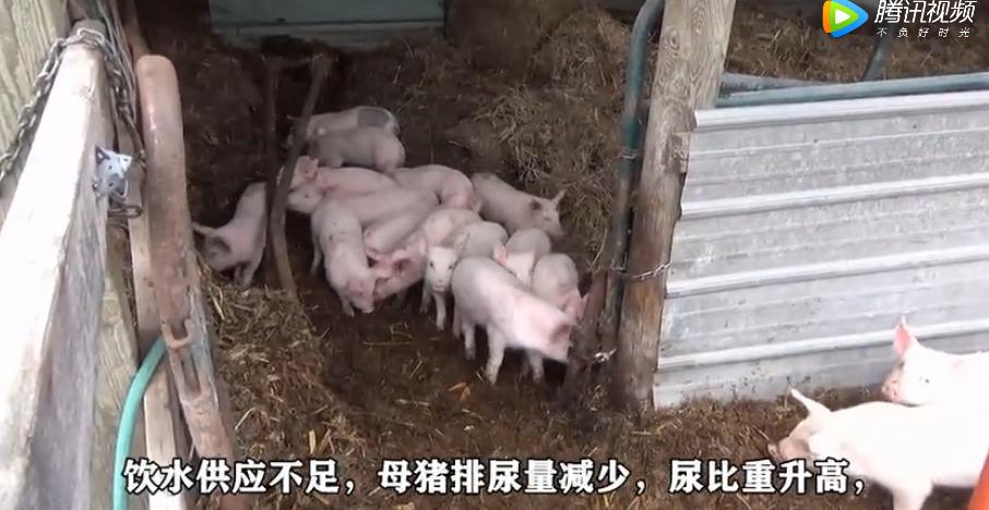 母猪尿白是怎么回事,很多养猪户都不知道!