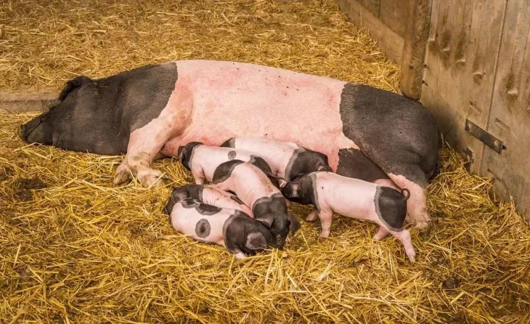 禁运放开、疫区解封,生猪市场大好时机来临?