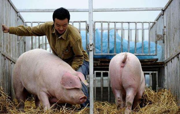 怒!专业炒猪团利用非洲猪瘟疫情制造恐慌抛售