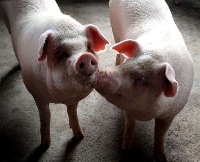 猪呼吸系统疾病病因复杂,指望单一措施防控本病基本不可能