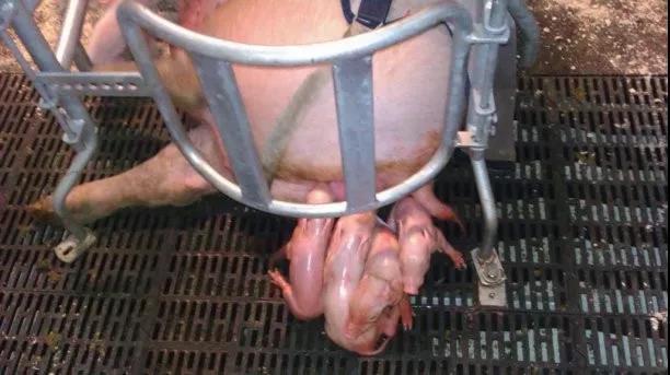 日粮的纤维水平影响母猪产仔性能和初乳产量