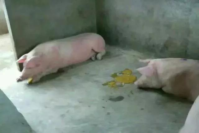 养猪户小心!霉菌毒素杀猪于无形!!