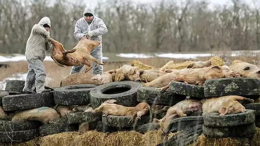 知彼方能百战不殆,防控非瘟,最终还得回归生物安全
