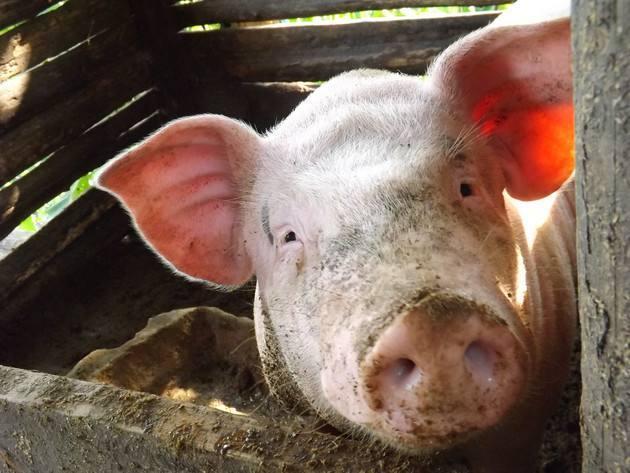 全国非洲猪瘟发病情况统计,哪里养猪最危险?