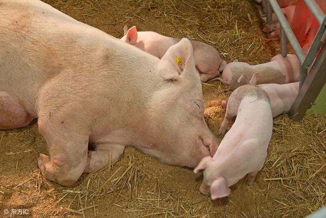 日粮的纤维水平对母猪产仔性能和乳生产的重要性