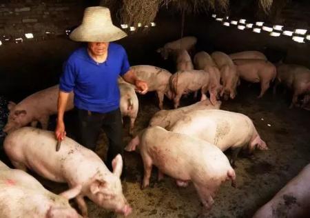高温对猪生长的影响及处理办法