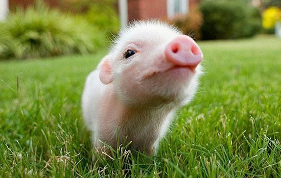 """湖南""""国保""""名猪保种实现产业化,开创地方名猪保种新模式"""