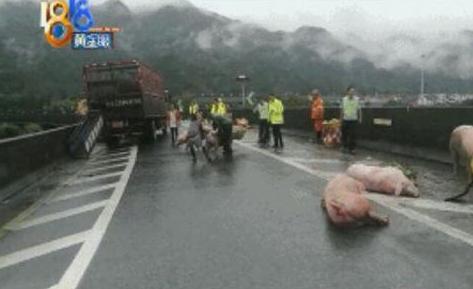 运猪车高速弯道不减速,一车生猪甩出来