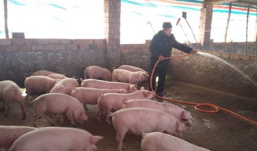 小暑已到来,对于猪群饲养该如何管理?